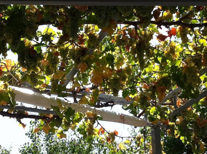 You can reach up and cut off a bunch of grapes anytime!